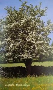 サンザシの木